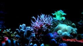 Pink Seriatopora hystrix sps coral in aquarium. Sps Seriatopora hystrix coral in saltwater coral reef aquarium tank - image stock photo