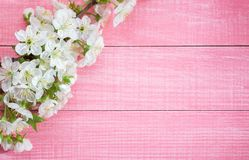 Pink shabby wooden background with the flowering sweet cherry branch.  stock images