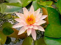 Pink shade of white lotus flower and bee Stock Image