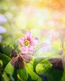 Pink shamrock flower over blurred garden background Stock Image