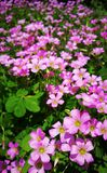 Pink Shamrock Flowers in bloom Stock Photos