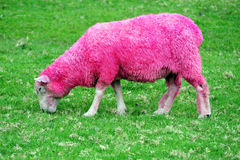 Pink Sheep. Is grazing in a green field in New Zealand Royalty Free Stock Image