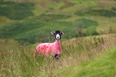 Pink sheep in green field. A sheep with a pink dye on it's fleece to help identify it in green field in England royalty free stock image