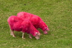 Pink Sheep. At Sheepworld, New Zealand stock images