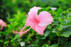 Pink shoe flower Royalty Free Stock Image
