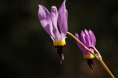 Pink shooting star Dodecatheon wildflower Stock Photo