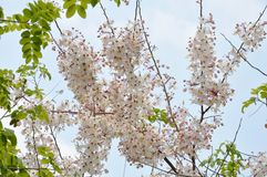Free Pink Shower Flower Or Wishing Tree Tropical Plant Blooming In Park Stock Image - 113164181