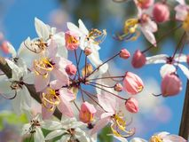Pink Shower flowers or wishing tree or Cassia Bakeriana with blue sky background Royalty Free Stock Photos