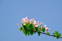 Pink Shower orchid Tree flower blossom Bauhinia monandra Royalty Free Stock Photography