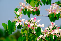 Pink Shower orchid Tree flower blossom Bauhinia monandra Stock Photography