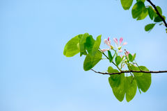 Pink Shower orchid Tree flower blossom Royalty Free Stock Image