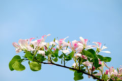 Pink Shower orchid Tree flower blossom Stock Photo