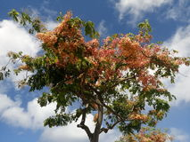 Pink shower tree Royalty Free Stock Photography