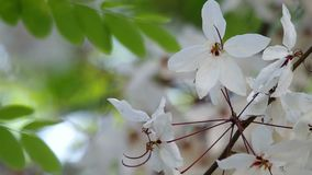 Pink Shower tree flowers under the shared stock video footage
