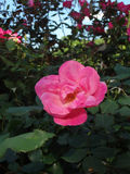 Pink Shrub Rose in Bloom Royalty Free Stock Photography