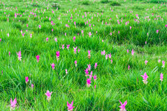 Pink Siam Tulip Blooming in Meadow Stock Photo