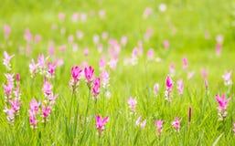 Pink siam tulip field, Thailand. Pink flower siam tulip field, Thailand Stock Image