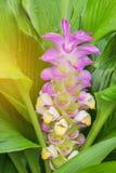 Pink siam tulip flower (Curcuma alismatifolia Gagnep  ) Royalty Free Stock Photos