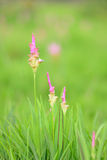 Pink siam tulip flower Stock Image