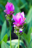 Pink Siam Tulip Royalty Free Stock Image