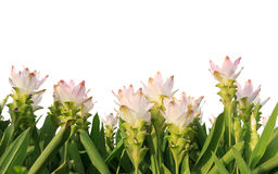 Pink siam tulip isolated on white background Royalty Free Stock Photo
