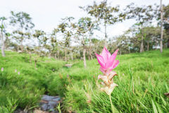 Pink Siam Tulip. In the national park Royalty Free Stock Photos