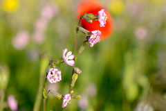 Pink Silene dioica flowers Stock Photo