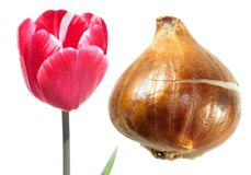 Pink Single early tulip flower with tulip bulb isolated on white Royalty Free Stock Image
