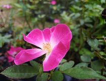 Pink Single-Petalled Rose stock photography
