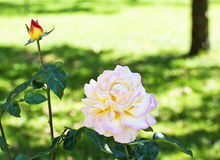 Pink single rose blossom in garden Stock Images