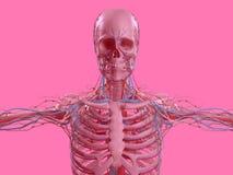 Pink skeleton on fun pink studio background. Graphic,design,modern. Royalty Free Stock Image