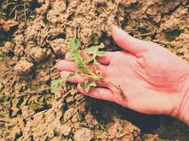 Pink skin hand yanks a small oilseed rape plant from wet humus clay. Man check quality Royalty Free Stock Images