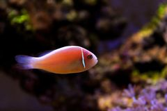 Pink Skunk Clownfish - Amphiprion perideraion. Pink Skunk Anemonefish or False Skunk-striped Anemonefish, has a peach-orange base color with one white stripe stock image