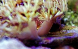 Pink Skunk Clownfish - Amphiprion perideraion. Pink Skunk Anemonefish or False Skunk-striped Anemonefish, has a peach-orange base color with one white stripe royalty free stock images
