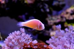 Free Pink Skunk Clownfish - Amphiprion Perideraion Royalty Free Stock Image - 135471896
