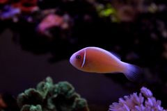 Pink Skunk Clownfish - Amphiprion perideraion. Pink Skunk Anemonefish or False Skunk-striped Anemonefish, has a peach-orange base color with one white stripe royalty free stock photo