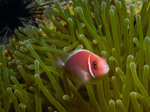 Pink Skunk Clownfish (Amphiprion perideraion). Underwater picture of Pink Skunk Clownfish (Amphiprion perideraion royalty free stock image