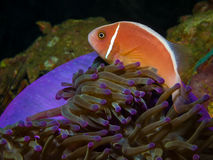 Pink Skunk Clownfish (Amphiprion perideraion). Underwater picture of Pink Skunk Clownfish (Amphiprion perideraion stock photo