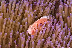 Pink Skunk Clownfish Amphiprion perideraion. Underwater picture of Pink Skunk Clownfish Amphiprion perideraion stock images