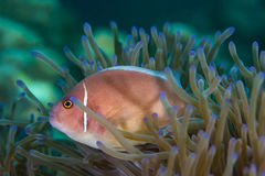 Pink Skunk Clownfish Amphiprion perideraion. Underwater picture of Pink Skunk Clownfish Amphiprion perideraion stock image