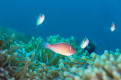 Pink Skunk Clownfish Amphiprion perideraion. Underwater picture of Pink Skunk Clownfish Amphiprion perideraion stock photography