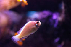 Pink skunk clownfish called Amphiprion perideraion Royalty Free Stock Photo