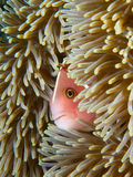 Pink skunk clownfish. The more common morph of the pink skunk clownfish peers out of its host anemone in Secret Bay, Bali stock images