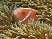 Pink skunk clownfish. The more common morph of the pink skunk clownfish sheltering in a giant carpet anemone at Secret Bay, Bali royalty free stock photo