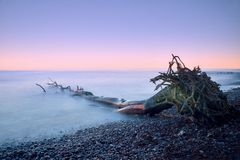 Pink sky above smooth smoky water level. Lonely fallen  tree on empty  stony coastline.  Death tree with  branches in water Stock Image