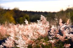 Pink Sky. Pink Flowers Stock Image