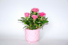 Pink Small Bush of Roses in a Pot Decoration Stock Photo. Pink Small Bush of Roses in a Pot Decoration Womens Day Mothers Day Valentine Day Stock Photo stock images