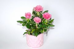 Pink Small Bush of Roses in a Pot Decoration Stock Photo stock photo