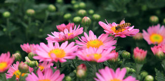 Pink small chrysanthemum. Flower gardening, chrysanthemum in full bloom, pink petals, yellow flower, bud bud, the honey bee, harmonious ecological environment Royalty Free Stock Images
