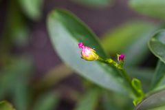 Pink small flowers isolate on blackground in sping sumer,. Front view from the top, technical cost-up Royalty Free Stock Photo